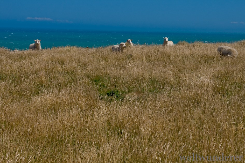 Sheep in the Catlins NZ