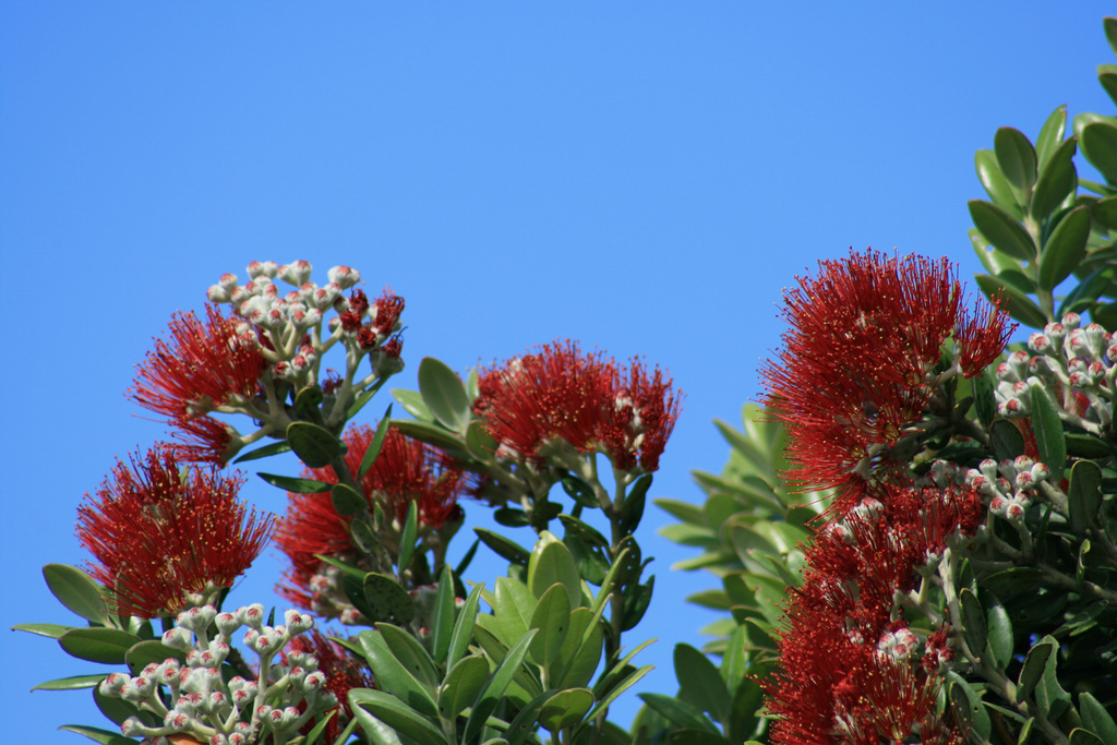 Pohutukawa Tree by Flickr/iainurquhart