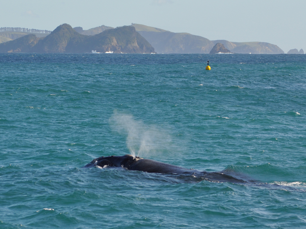 Whale watching Bay of Islands Flickr_DOC