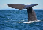Whale watching in Neuseeland Flickr_Victoria Hoete-Dodd