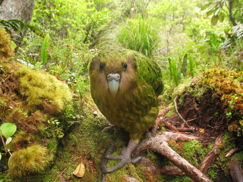 Kakapo-CREDIT-Department-of-Conservation
